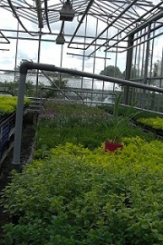 Oregano growing in glasshouse